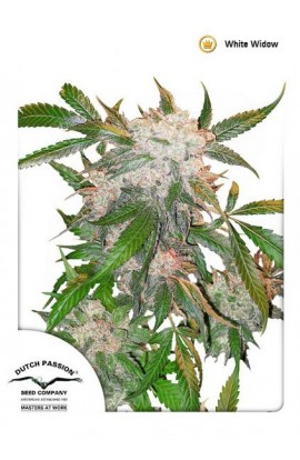 SEMILLA WHITE WIDOW DUTCH PASSION