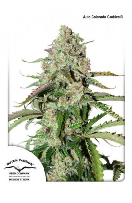 SEMILLA AUTO COLORADO COOKIES DUTCH PASSION