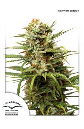 SEMILLA AUTO WHITE WIDOW DUTCH PASSION