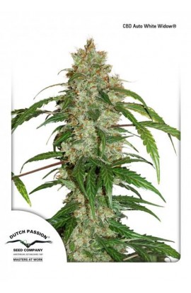 SEMILLA CBD AUTO WHITE WIDOW DUTCH PASSION