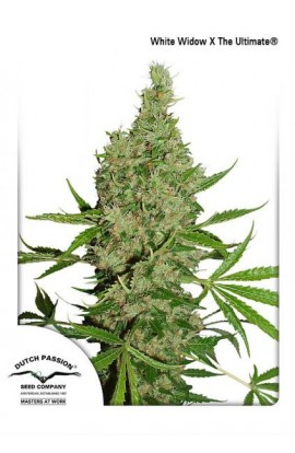 SEMILLA WHITE WIDOW X THE ULTIMATE DUTCH PASSION