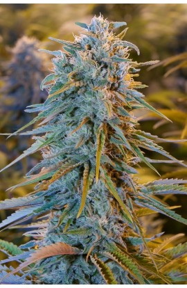 SEMILLA BLUE DREAM HUMBOLD SEEDS