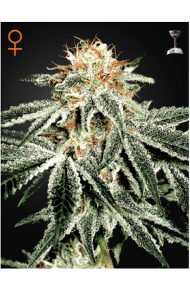 SEMILLA WHITE WIDOW DE GREEN HOUSE SEEDS