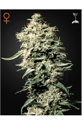 SEMILLA WHITE RHINO DE GREEN HOUSE SEEDS