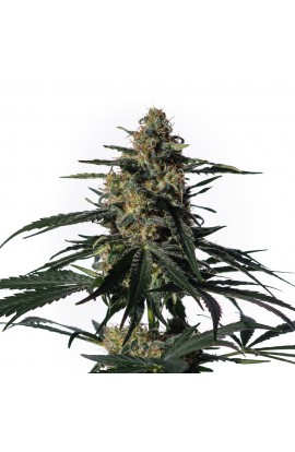 SEMILLA NIGHTINGALE MEDICAL MARIJUANA GENETICS