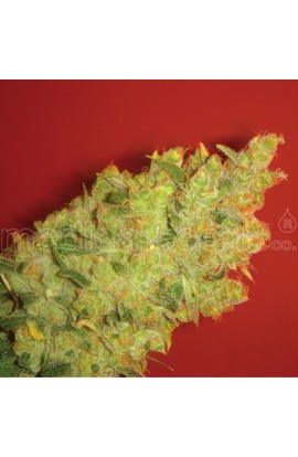 SEMILLA JACK LA MOTA MEDICAL SEEDS