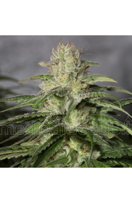 SEMILLA OG KUSH CBD MEDICAL SEEDS