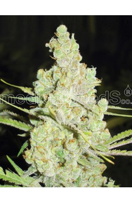 SEMILLA 1024 MEDICAL SEEDS