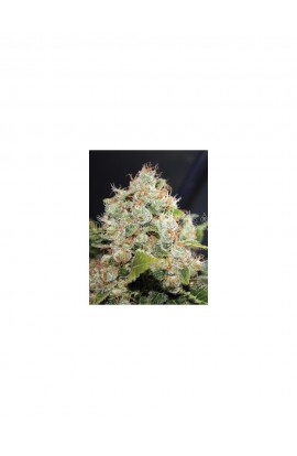 SEMILLA BCN SOUR DIESEL MEDICAL SEEDS