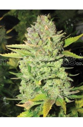 SEMILLA DEVIL FRUIT MEDICAL SEEDS