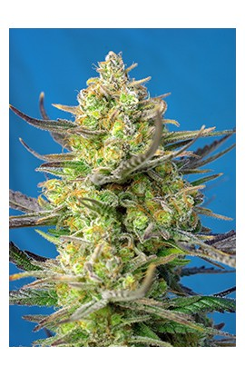 Sweet Cheese XL Auto®