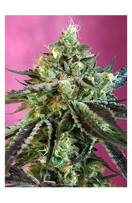Sweet Nurse Auto CBD®