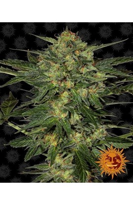 SEMILLA LSD BARNEY'S FARM